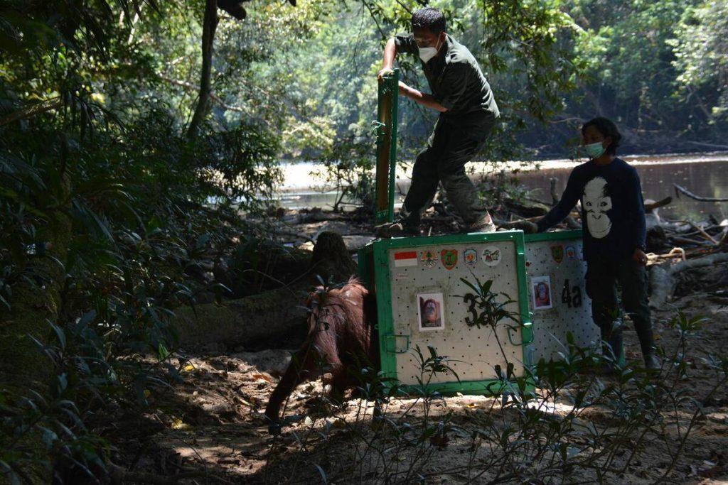 BOS Deutschland e.V. wildert 10 Orang-Utans aus